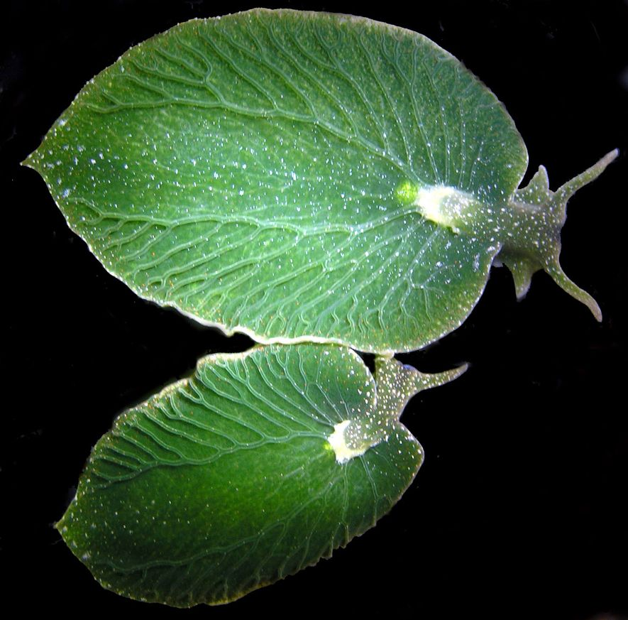 These sea slugs resemble little leaves, and are becoming very difficult to find.