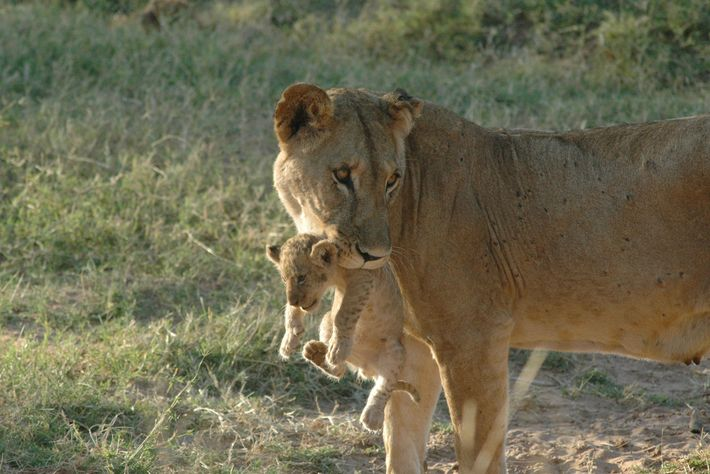 A lion mother named Uni is one of northern Kenya's solitary lions.