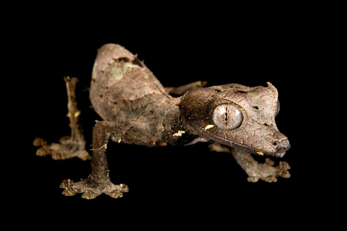A satanic leaf-tailed gecko (Uroplatus phantasticus) at the Houston Zoo