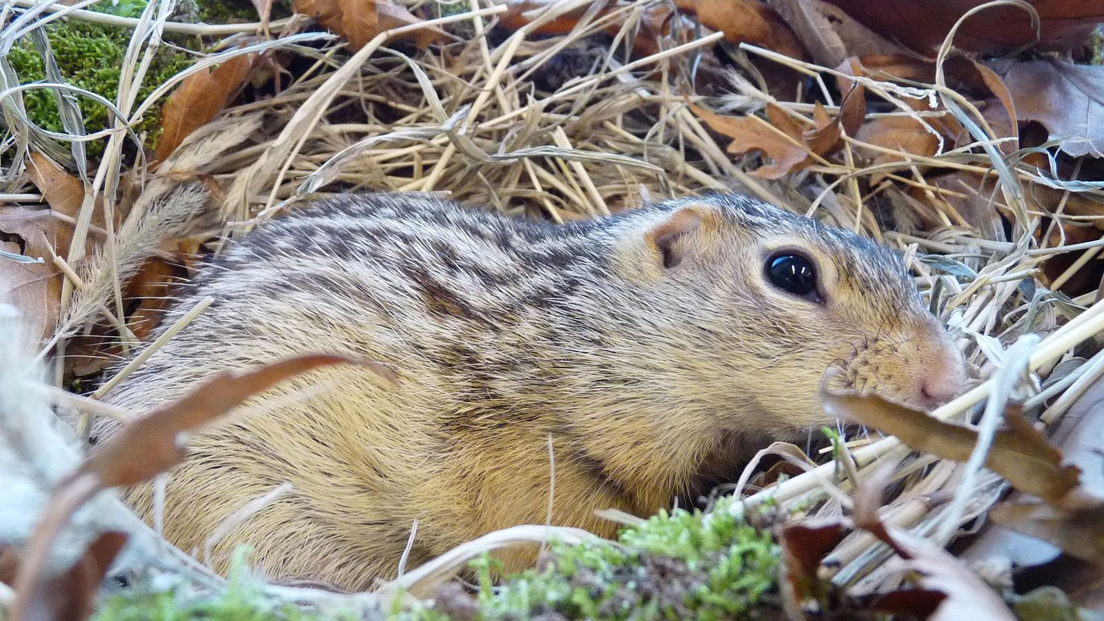 The 13-lined ground squirrel (pictured) lives throughout the grasslands of North America, where winters can be ...