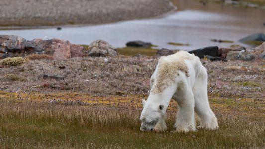 Starving Polar Bear Photographer Explains Why She Couldn't Help