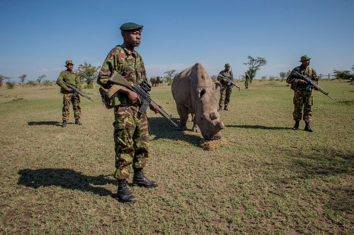 A platoon of armed guards watch over Sudan, a northern white rhinoceros that was the last ...