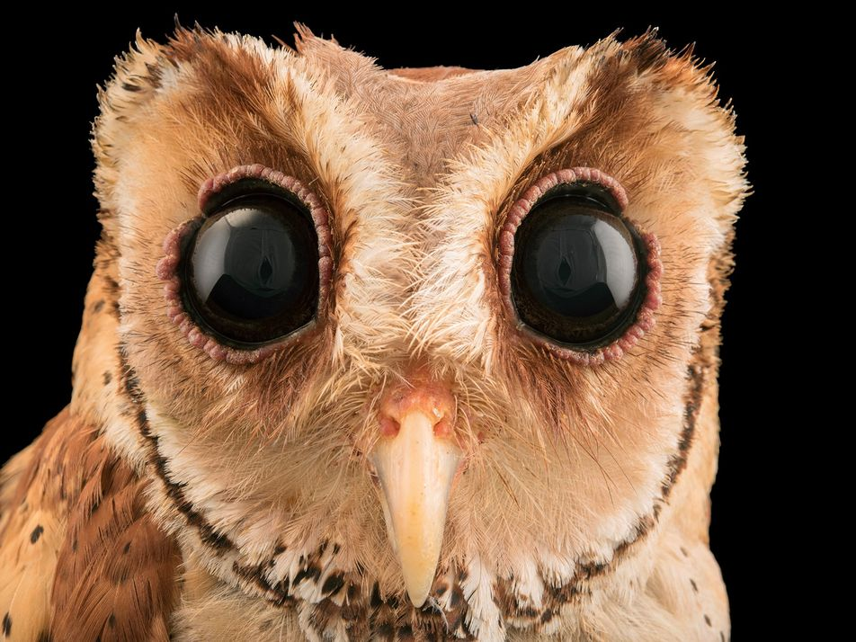 This superb owl can see with its eyes closed