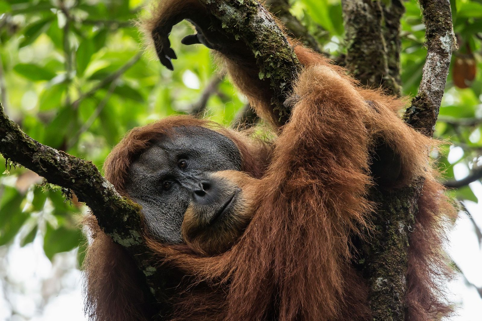Batang Toru apes are more closely related to their counterparts from Borneo than to other orangutans ...