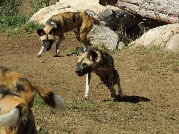 A pack of African wild dogs will often help a pack member with a missing leg.