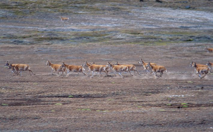 On the move, a herd of Tibetan antelope raises the dust in China's Qinghai Province.