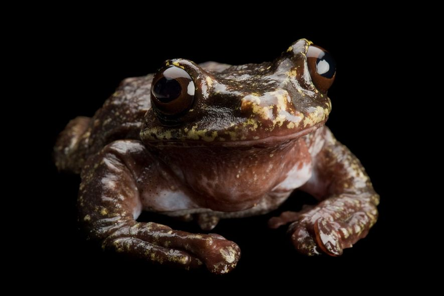 The last living Rabb's fringe-limbed tree frog died in 2016 at Atlanta Zoo. The now-extinct Panamanian ...