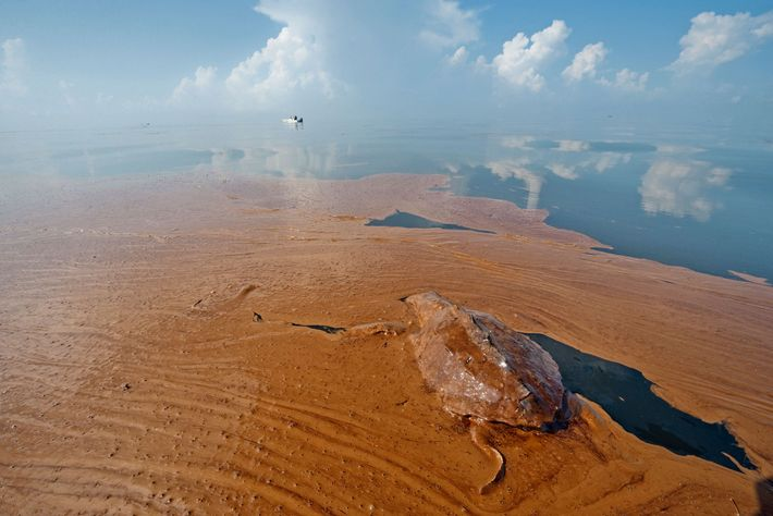 A dead juvenile sea turtle lies marooned in oil off the coast of Louisiana.