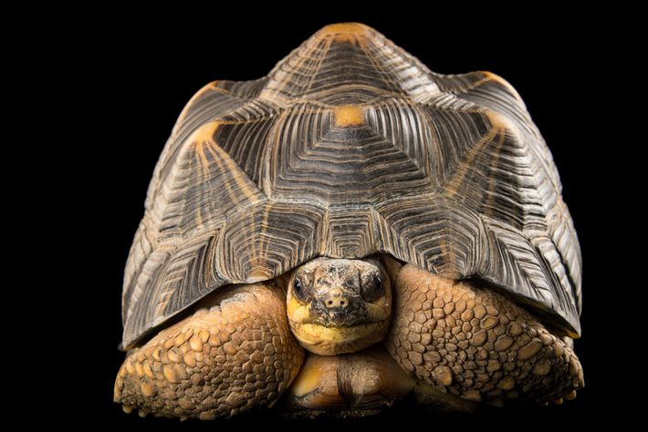 Radiated tortoises—popular as pets in Hong Kong, China and elsewhere—are critically endangered and barred from international ...