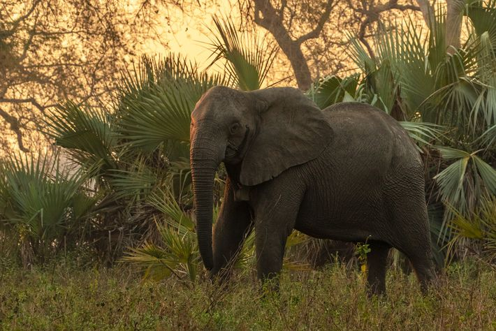 A tuskless adult female elephant in the Gorongosa National Park woodlands has been fitted with a ...