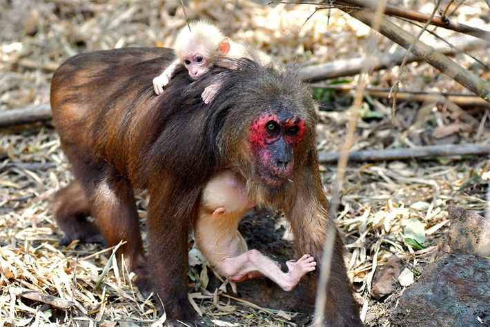 The mother of the twins is carrying one infant in her arms while the other perches ...