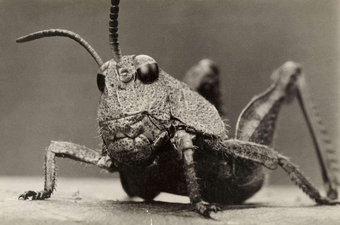 At least 18,000 species of grasshoppers hop the world's continents. All have strong jaws used for …