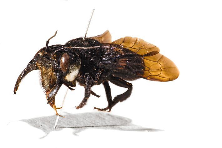 The original specimen of Wallace's giant bee, collected by Alfred Russel Wallace.