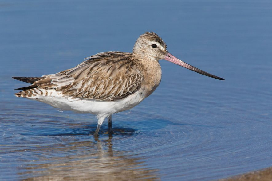 Globe-trotting bar-tailed godwits gorge to fuel a non-stop 10-day flight from Alaska to New Zealand.