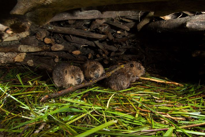 A family of beavers inside their lodge in Grand Teton National Park.