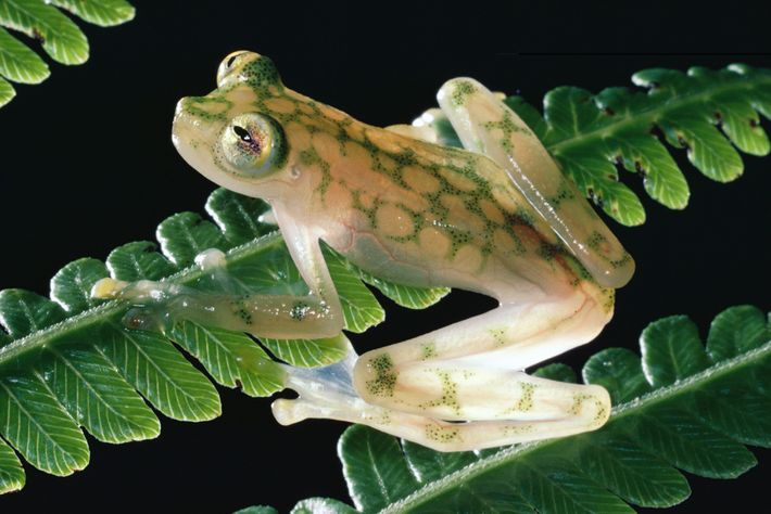 This reticulated glass frog looks delicate perched on a frond in the Monteverde Cloud Forest Reserve, ...