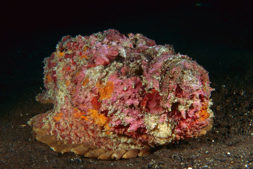 A reef stonefish mimics a coral reef in Bali, Indonesia.