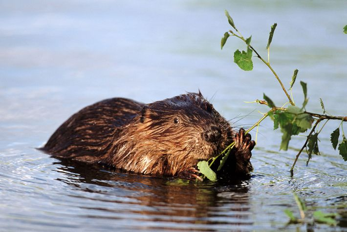 A European beaver chomps down on vegetation. There are only two species of beaver.