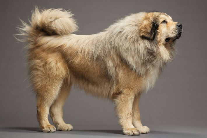 Tibetan mastiffs are closely related to the Labrador retriver, a North American breed.