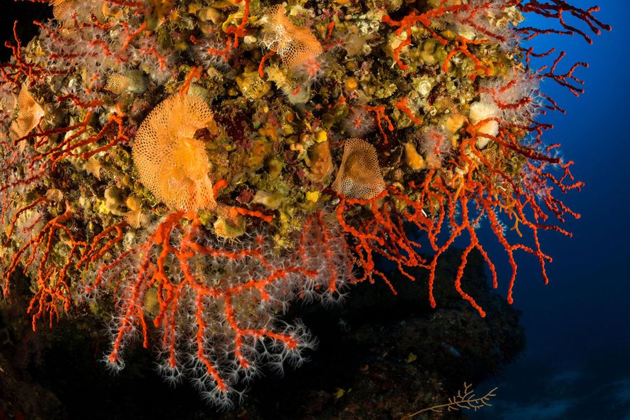 Mediterranean red coral, pictured here in the Adriatic Sea off Croatia, can live for 500 years.