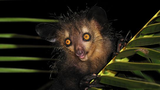 An aye-aye clings to a palm in eastern Madagascar. It was once considered a bad omen ...