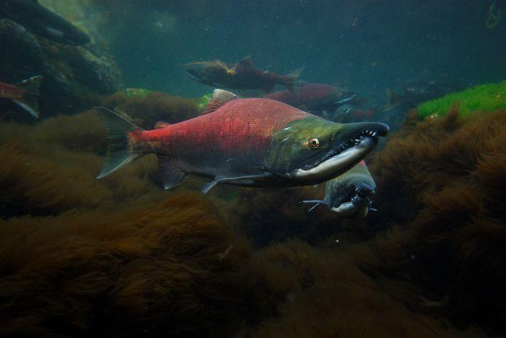 Male sockeye salmon in their breeding colors swim through Prince William Sound, Alaska.