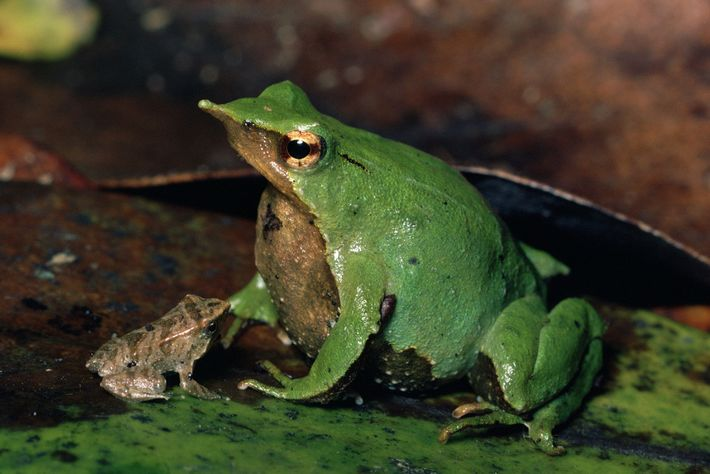 A Darwin's frog sits with his froglet on Chiloe Island, Chile.
