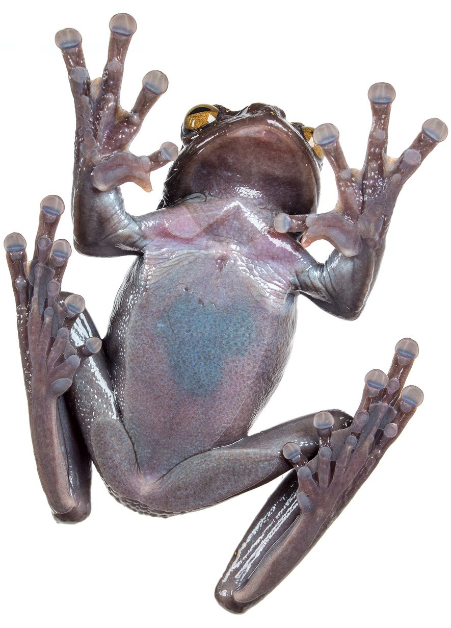 The odd extra claw on both male and female 'H. hillisi' is probably used as a ...