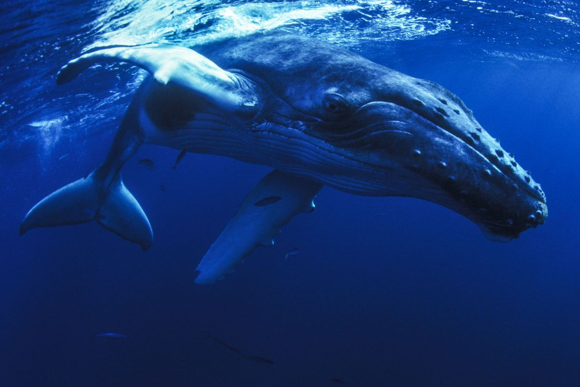 Humpback whales were hunted to near extinction, with numbers dropping by more than 90 percent before ...