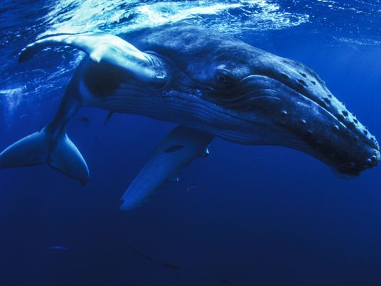 Whale Allegedly Protects Diver From Shark, But Questions Remain