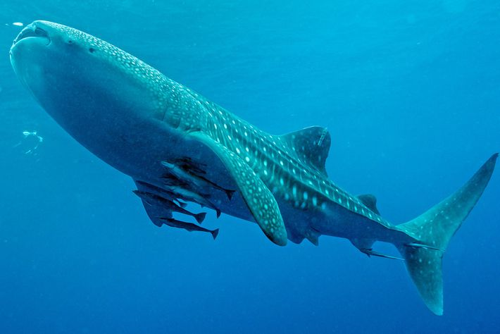 Number 459, a young male whale shark tagged with a satellite tracker, swims off Cenderawasih Bay, ...