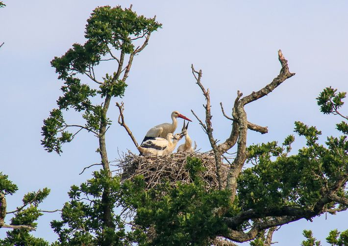 The parent storks feed the chicks in shifts, regurgitating earthworms, grasshoppers, even grass snakes into the nest.    @font-face ...