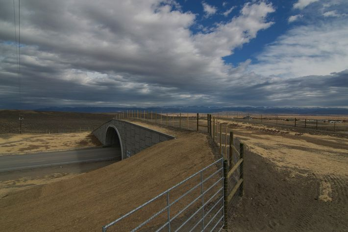 Fencing, an important component of successful wildlife crossings, directs migrating pronghorn antelope in Wyoming over the ...