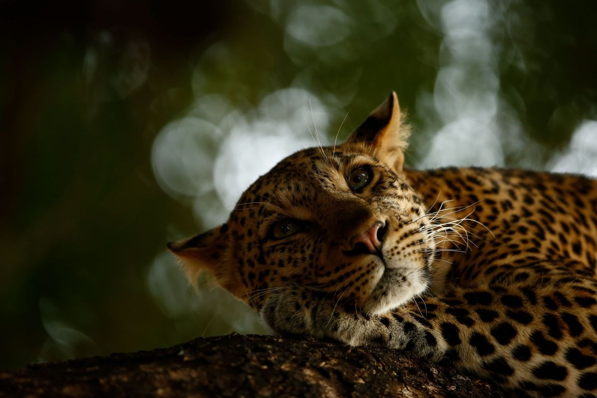 Sixteen-year-old Skye Meaker earned Young Wildlife Photographer of the Year for his image of a leopard ...