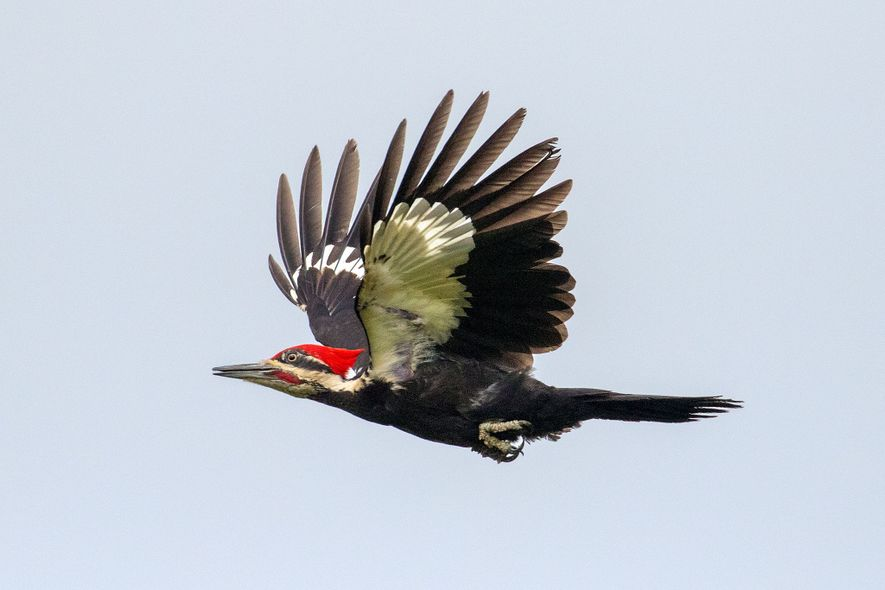 Pileated woodpeckers can survive in moderately urbanised areas as long as there is sufficient tree cover for nesting and roosting.