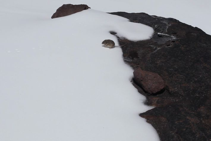 A yellow-rumped leaf-eared mouse spotted by Matt Farson on January 22, 2013, at an elevation of ...