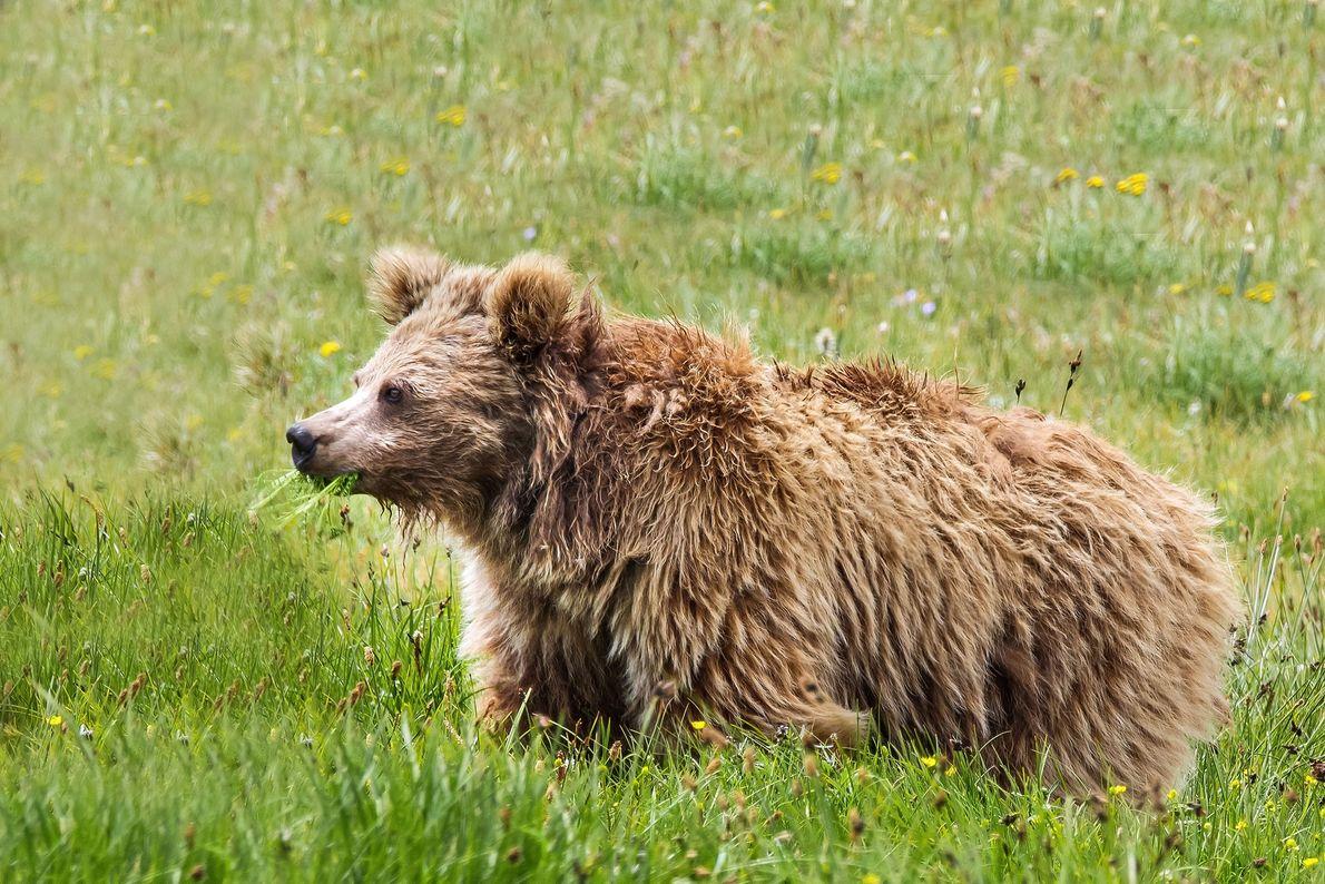 A Himalayan brown bear roams Deosai National Park in Pakistan.