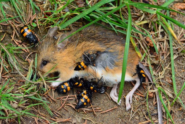 Burying beetles prepare to bury a kangaroo rat.