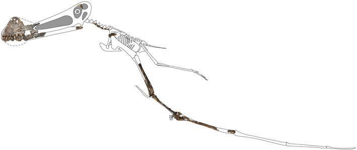 This skeletal reconstruction of Ferrodraco displays the newfound fossilized bones preserved in three dimensions. While the ...