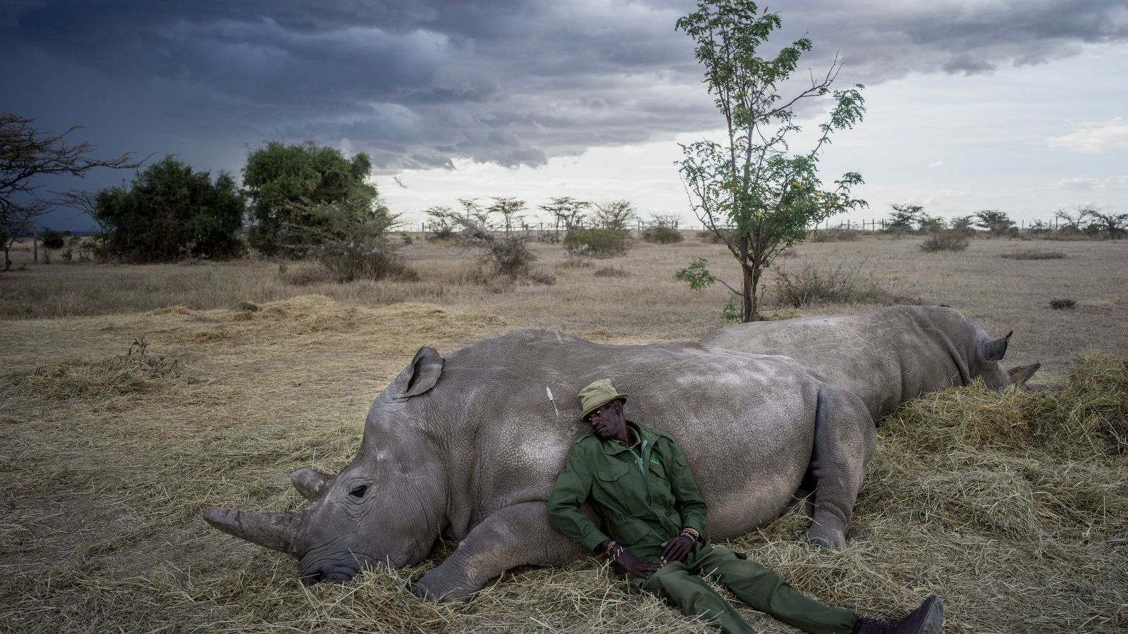 """Peter Esegon, one of the primary rhino caretakers relaxes with Najin and Fatu as the sun ..."