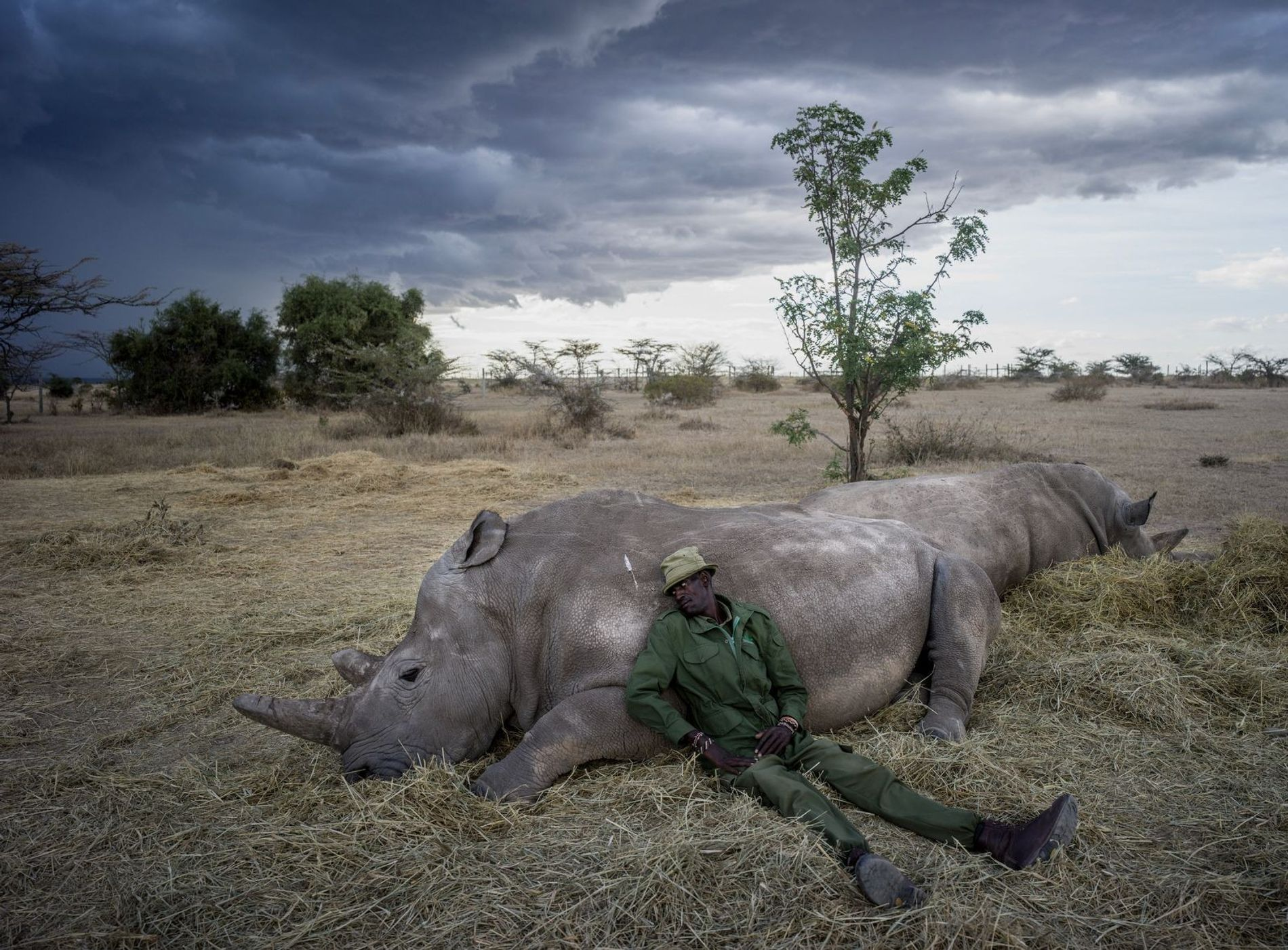 """""""Peter Esegon, one of the primary rhino caretakers relaxes with Najin and Fatu as the sun ..."""