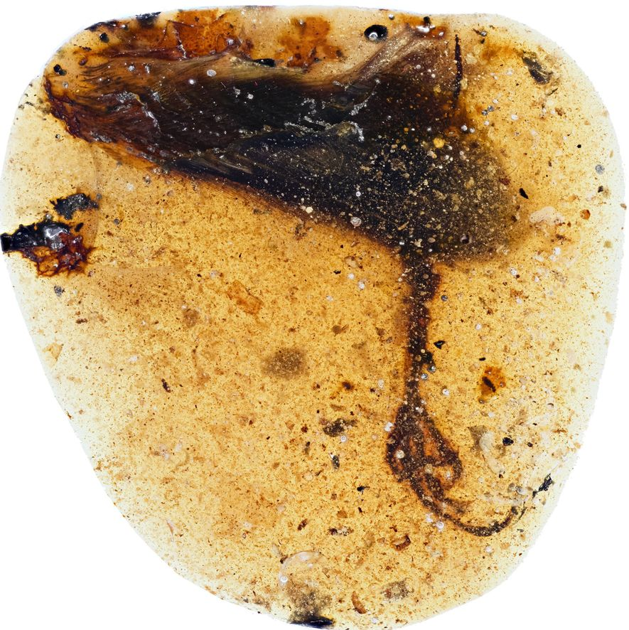 The limb of the newfound species of enantiornithine was found entombed in a blob of Burmese amber.