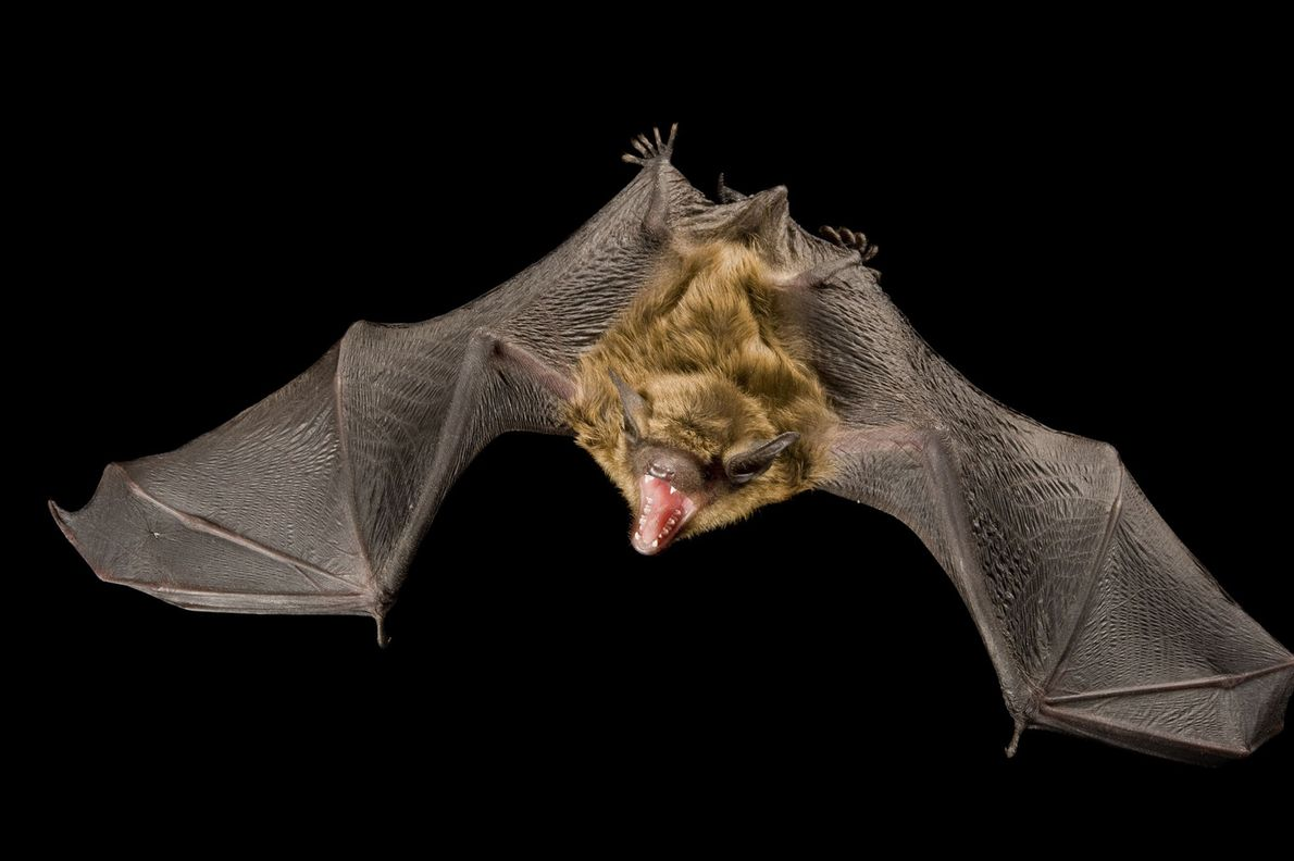 A big brown bat, Eptesicus fuscus.