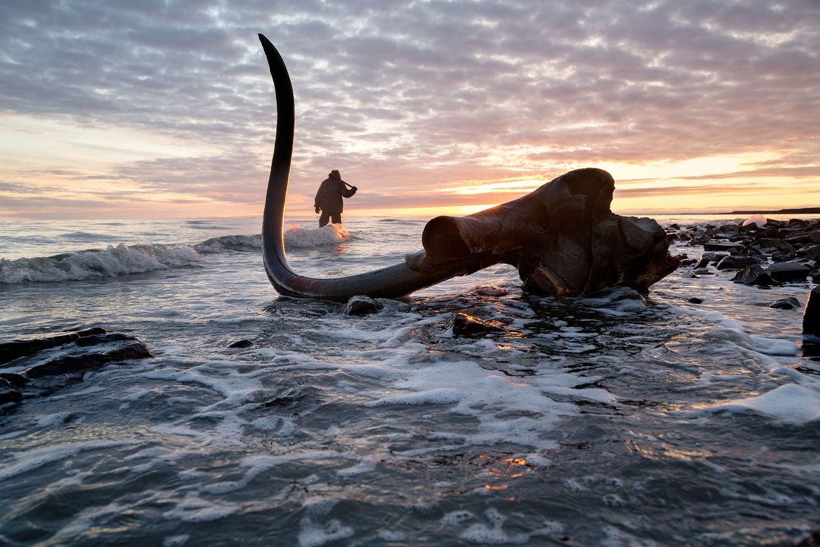 A pristine mammoth tusk is discovered with the skull still attached.