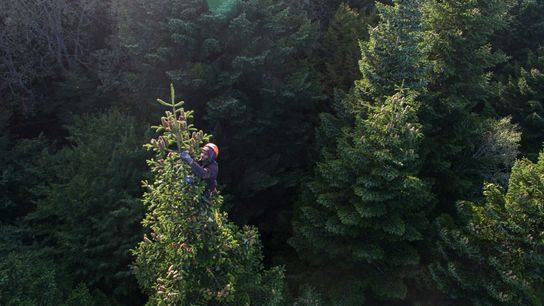 Unlike the Fair Trees crew, many other cone pickers climb with no ropes or safety gear, ...
