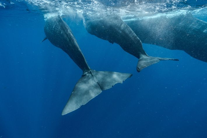 Digit (left) swims with the calf, Corkscrew, and the mother, Canopener. The adult whale often seems ...