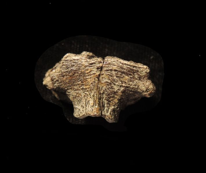 Researchers found the exceptionally preserved Hypacrosaurus cells within the supraoccipital, a bone that formed part of ...