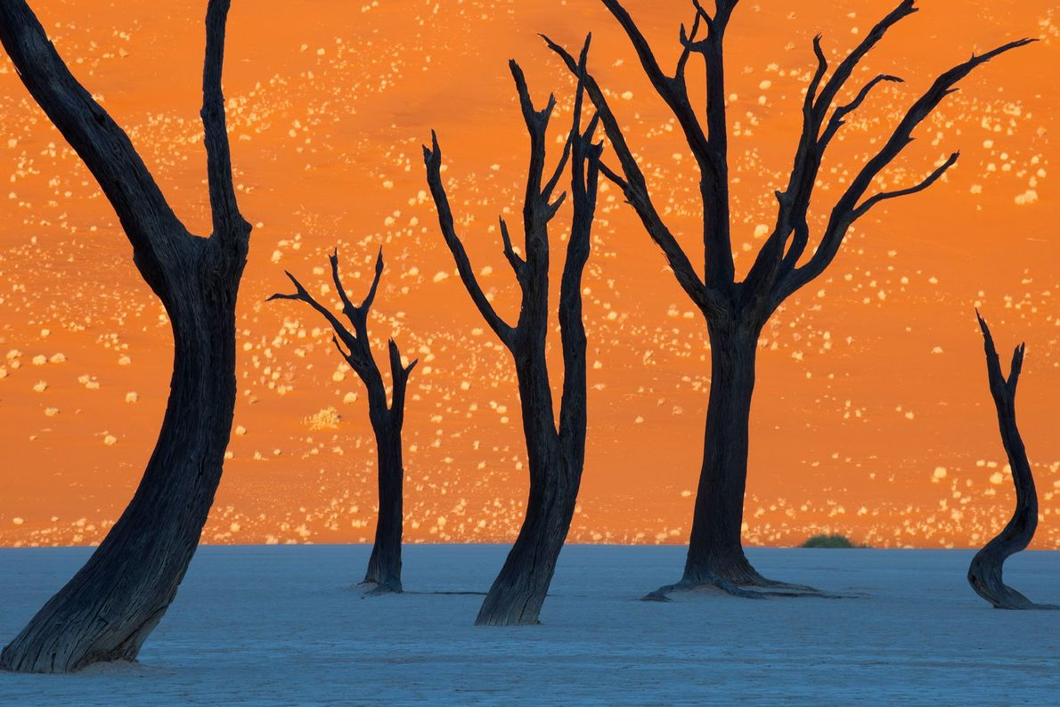 Camel thorn trees in Namib-Naukluft Park, Namibia look like a painting when photographed at dawn.