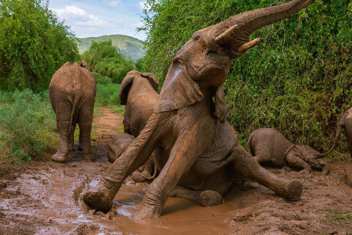 Elephants take frequent mud baths to cool down and help remove parasites. Here, a family gets ...
