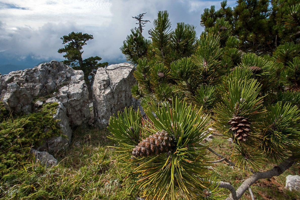 The Pollino park is also home to these Bosnian pines. Conifers are among the longest lived ...